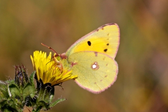 Clouded Yellow Butterfly
