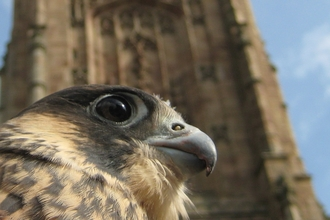 Derby Cathedral peregrine, Nick Moyes