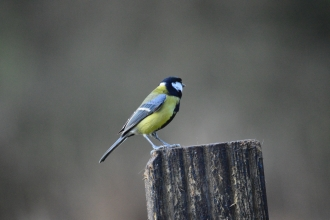 Great tit at Woodside Farm, Gavin Henderson