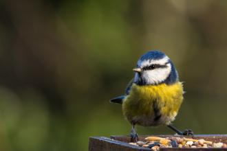 Blue tit, Sharon Dale via Flickr