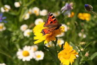 Small tortoiseshell butterfly enjoying Belper Coppice meadow creation, Kieron Huston