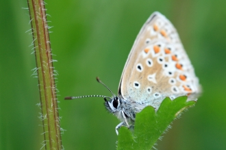 Common blue butterfly, Vicky Nall