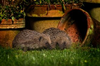 Hedgehog, Jon Hawkins, Surrey Hills Photography