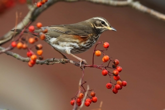 Redwing, Margaret Holland