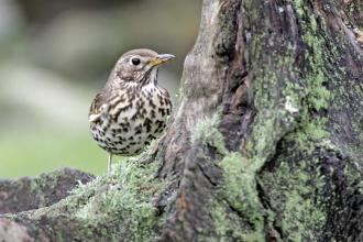 Song thrush by Margaret Holland