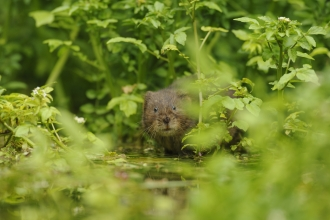 Water vole, Terry Whittaker 2020 Vision