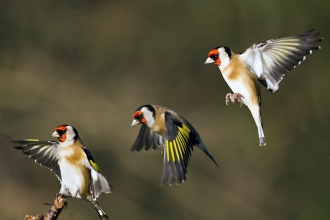 Goldfinch landing, James Butler