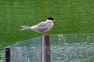 Common tern sighting by Julia Riddick