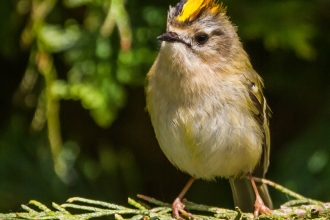 Goldcrest by Andy Morffew