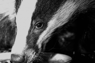 Badger by Jason Skeen