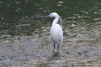 Little egret by Adam Jones