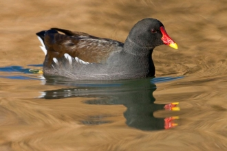 Moorhen by Guy Edwardes 2020VISION