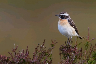 Whinchat by Richard Steel 2020vision