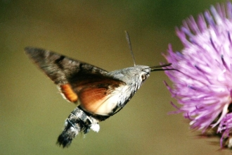 Hummingbird Hawk Moth by Dave Appleton