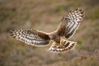 Hen harrier Mark Hamblin 2020vision