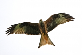 Red Kite, John Hawkins, Surrey Hills Photography