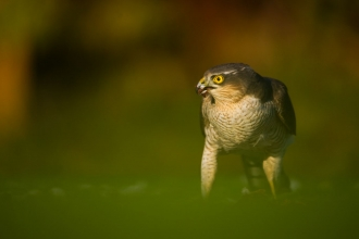 Sparrowhawk by Andrew Parkinson 2020VISION