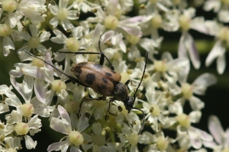 Speckled longhorn beetle by Kieron Huston