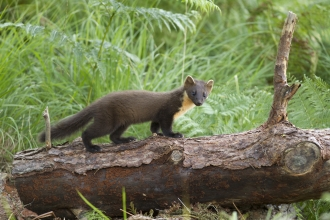 Pine marten, Mark Hamblin/2020VISION