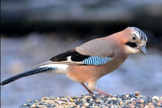 Jay by Adam Jones