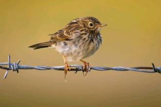 Meadow pipit by Neil Aldridge