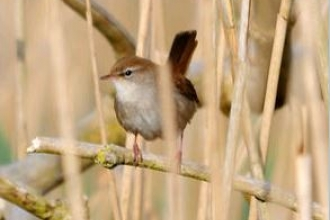 cetti's warbler by Amy Lewis