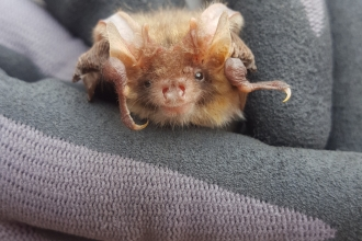 male brown long eared bat
