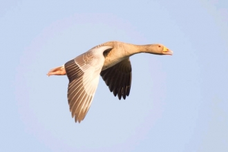 Greylag by Peter Cairns 2020VISION