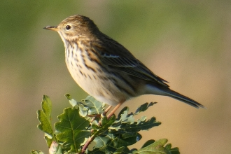 Meadow pipit by Derek Moore 2