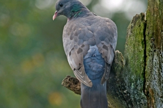 Stock dove by Bob Coyle