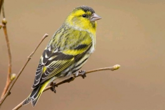 Siskin by Tom Marshall