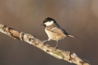 Coal tit by Dawn Monrose