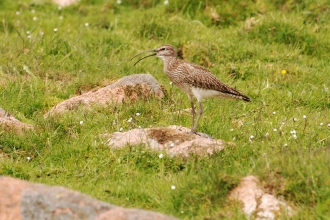 Whimbrel by Bob Coyle