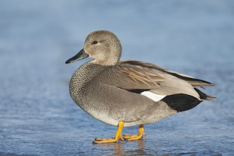 gadwall male