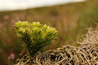 Fir clubmoss, Wildlife Trusts