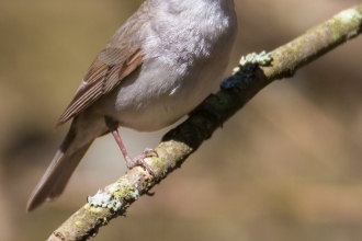 Black cap Jon Hawkins - Surrey Hills Photography