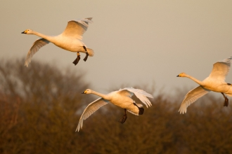 Whooper swans by Danny Green 2020VISION