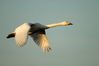 Whooper swans by Danny Green/2020VISION