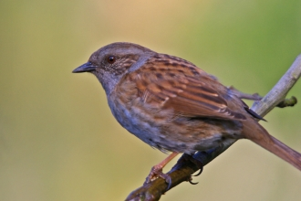 Dunnock by Neil Aldridge