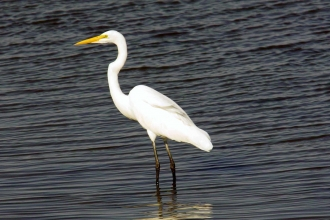 Great white egret by Derek Moore