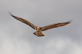 Osprey by Peter Cairns/2020VISION