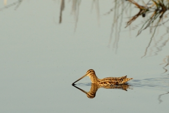 Snipe by Nick Upton/2020VISION/naturepl.com