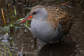 Water rail by Margaret Holland