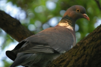 Woodpigeon by Neil Aldridge