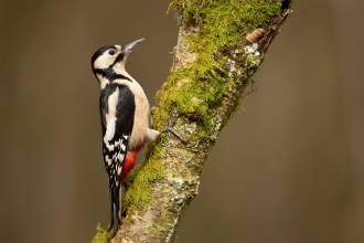 Great spotted woodpecker by Mark Hamblin/2020VISION