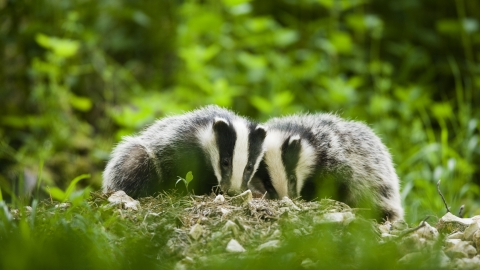 Two badgers in woodland, Derbyshire Wildlife Trust