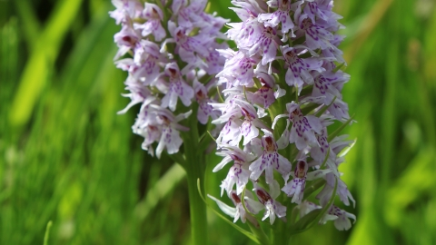 Common spotted orchid, Derbyshire Wildlife Trust