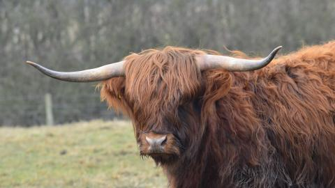 Highland cattle at Woodside Farm, Gavin Henderson
