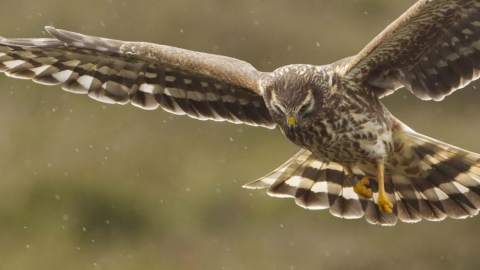 Hen Harrier, Mark Hamblin, 2020 Vision