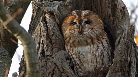 Tawny owl, Margaret Holland